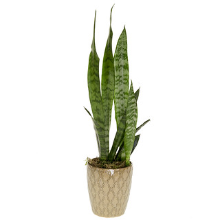 Snake Plant - Photo Courtesy Leanne and David Kesler, Floral Design Institute, Inc., in Portland, Oregon, www.floraldesigninstitute.com; Plant décor by Michelle Headrick, Floral Design Institute, Inc. | by Flower Factor