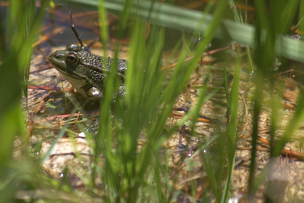 ranas croan en el Jardín Botánico de Madrid