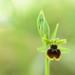 Ophrys petite araignée ( Ophrys Virescens )