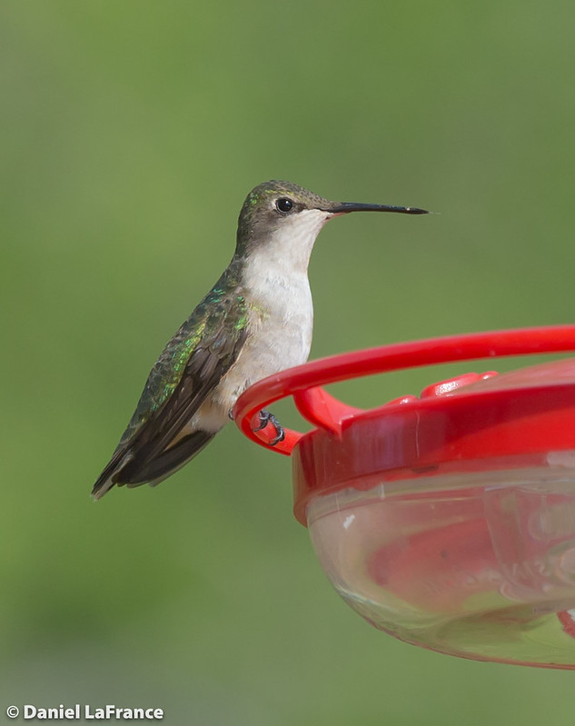Ruby-throated Hummingbird  (DOL-A-7538)