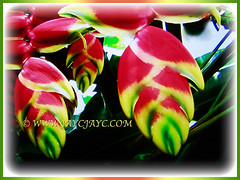 Captivating flowers of Heliconia rostrata (Lobster Claw, False Bird of Paradise, Hanging Heliconia), 30 May 2017