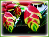 Heliconia rostrata (Lobster Claw, False Bird of Paradise, Hanging Heliconia)
