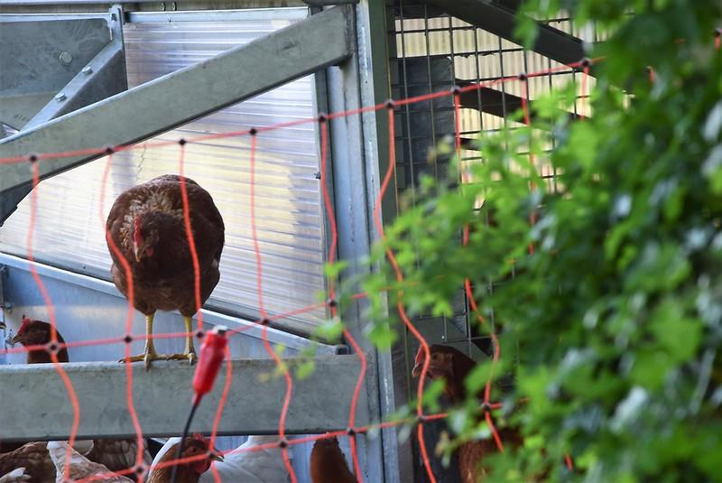 Chickens 28.05 (1)