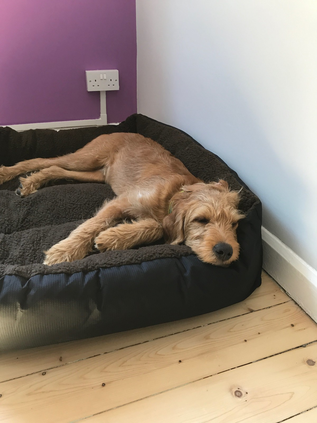 Whisky the puppy, sleeping in his new bed in the new office.