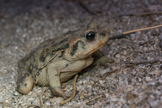 California Toad, Anaxyrus boreas halophilus (Baird and Girard, 1853) | by Misenus1