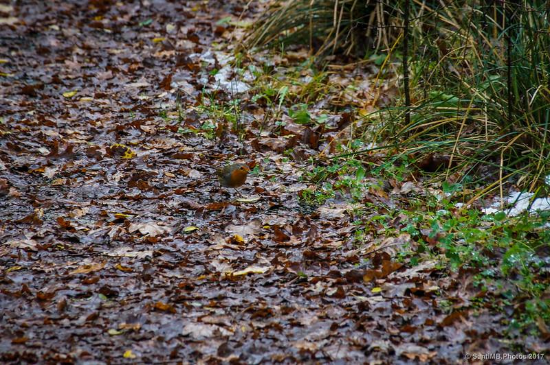 Petirrojo en la senda del Bosque de Orgi