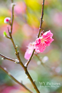 Plum blossom on spring day