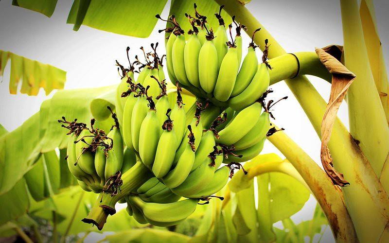 Health Benefits Of Banana Tree ( Uses - StemFlowerLeavesPeel)
