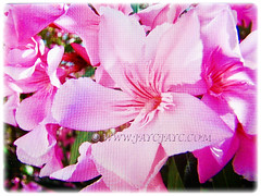 Macro shot of lovely pink flowers of Nerium oleander (Rosebay, Nerium, Oleander), 24 May 2017