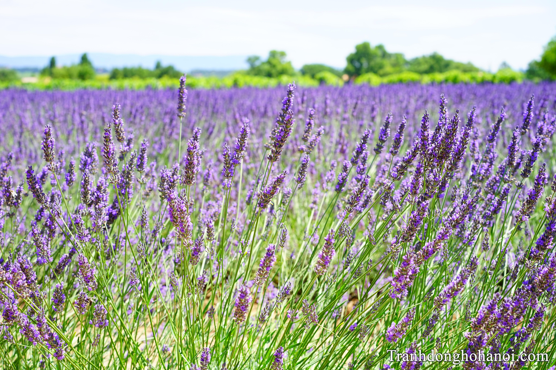 Hinh anh dep hoa oai huong dau tien trong chuyen kham pha 50 buc anh chat luong cao hoa lavender