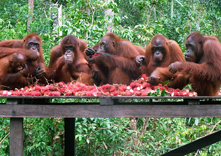 Orangutan Eco Tour Travel to Borneo Indonesia with Dr. Birute Mary Galdikas
