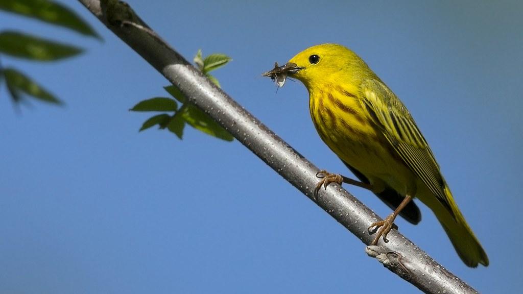 Paruline jaune mâle 34638325870_43e5a8eb87_b