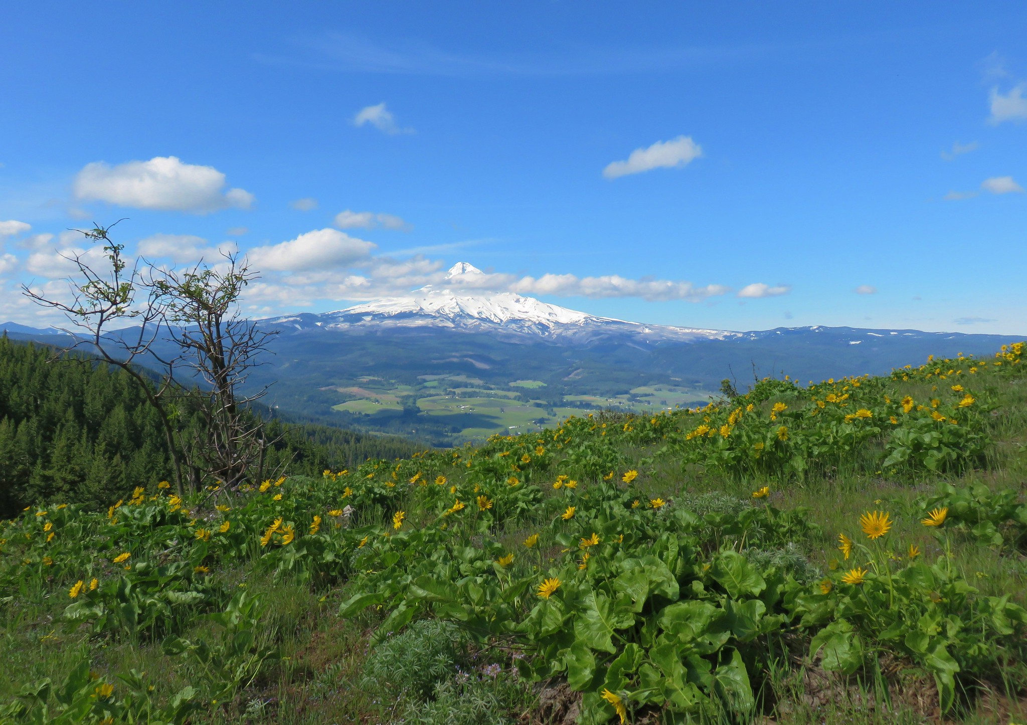 Mt. Hood and balsamroot