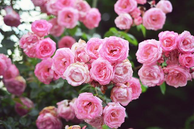 Rose_Garden (10)