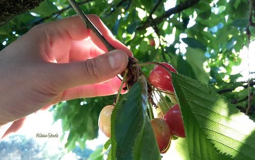 La cueillette des cerises