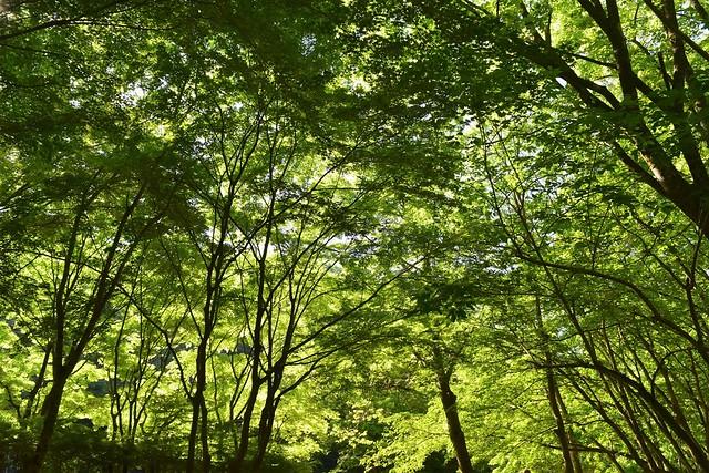 丹沢の新緑