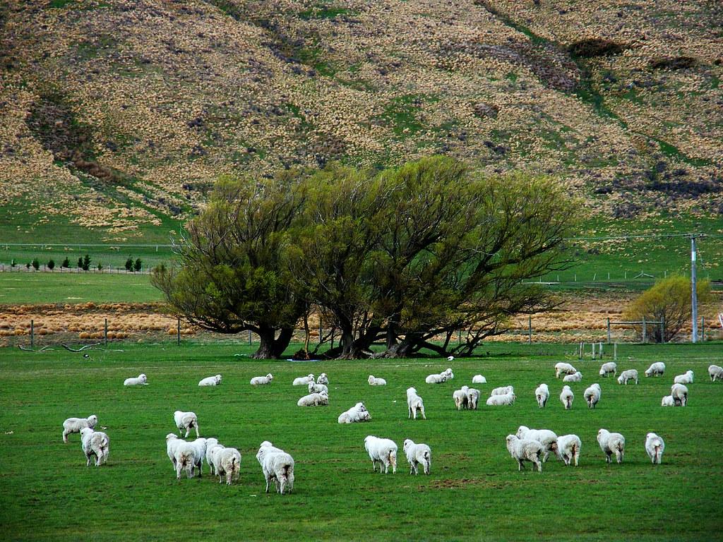 australian sheep farm