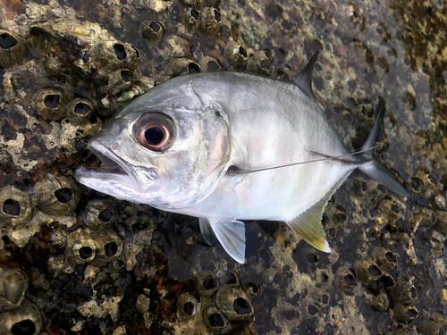 今日のサムイ島 5月31日 メッキ釣り 2017年1回目