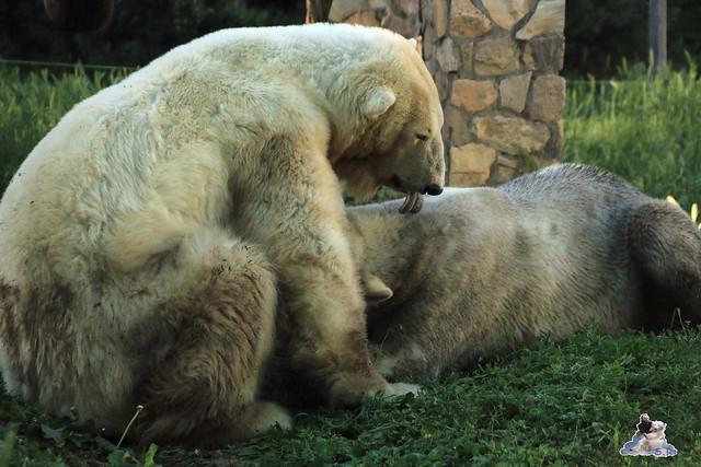 Eisbär Fiete im Sosto Zoo 28.05.2017 237