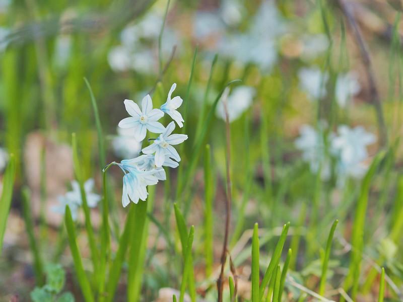 sininen-kukka-kesä-vihreys-suomi