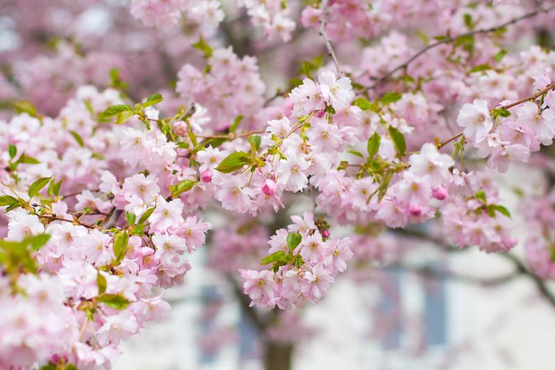 kirsikankukkia 1