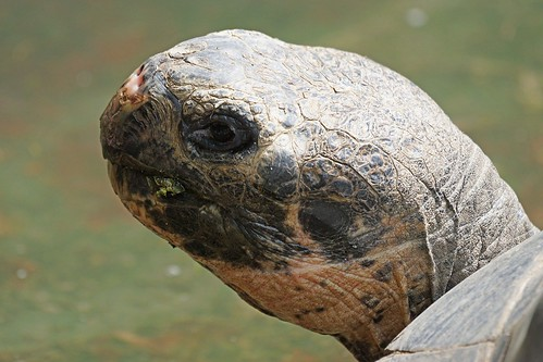 Galápagos Giant Tortoise. From Intriguing Destinations to See Animals in Their Natural Habitats
