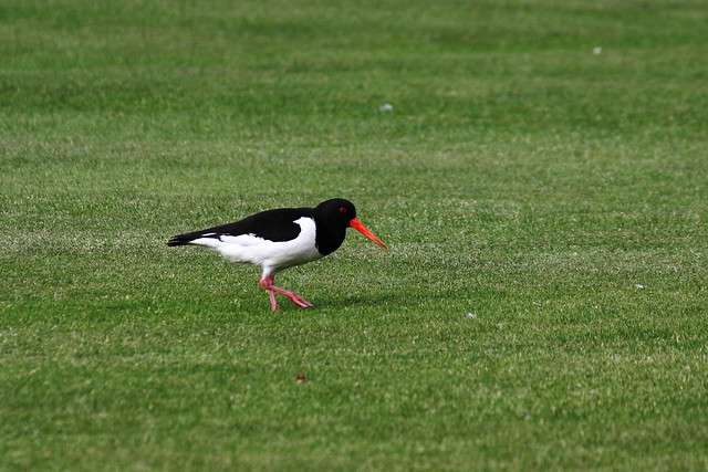 Oystercatcher searching