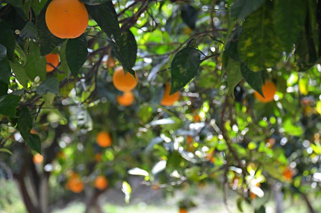 Oranges, Crete