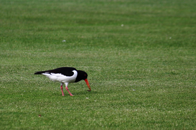 Oystercatcher finding