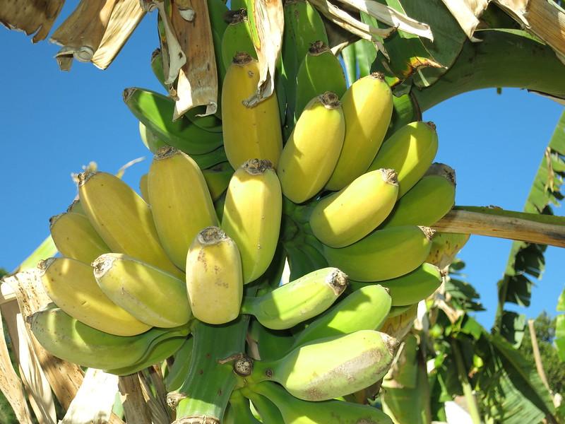 American Goldfinger Fhia 1 Taste Report With Pics Bananas Org