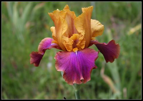 Iris 'Syncopation' - Gatty 1983 34872606631_a18e634407