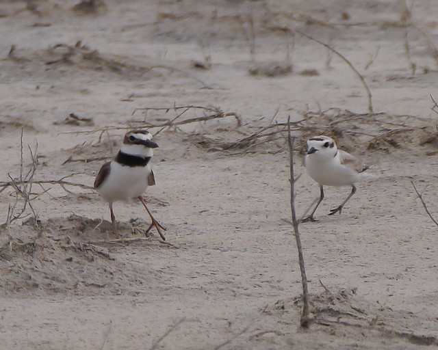 Snowy Plover Chasing Wilson's Plover - 2