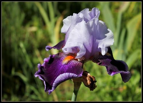 Iris 'Magic Man' - Barry Blyth 1979 35138157796_713204c9e5