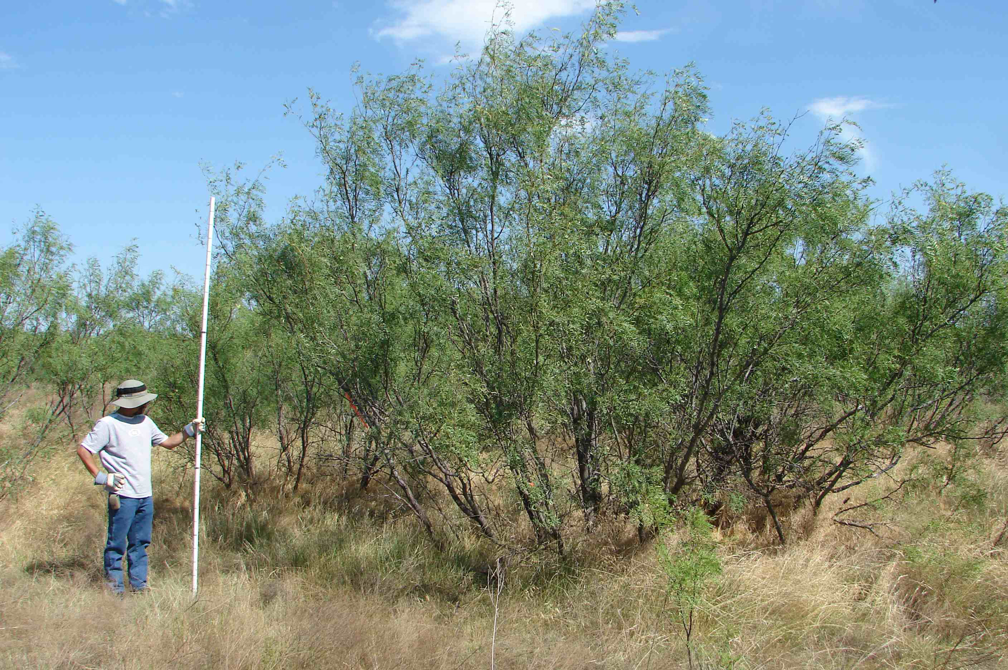 Mesquite-14-yr-old-regrowth