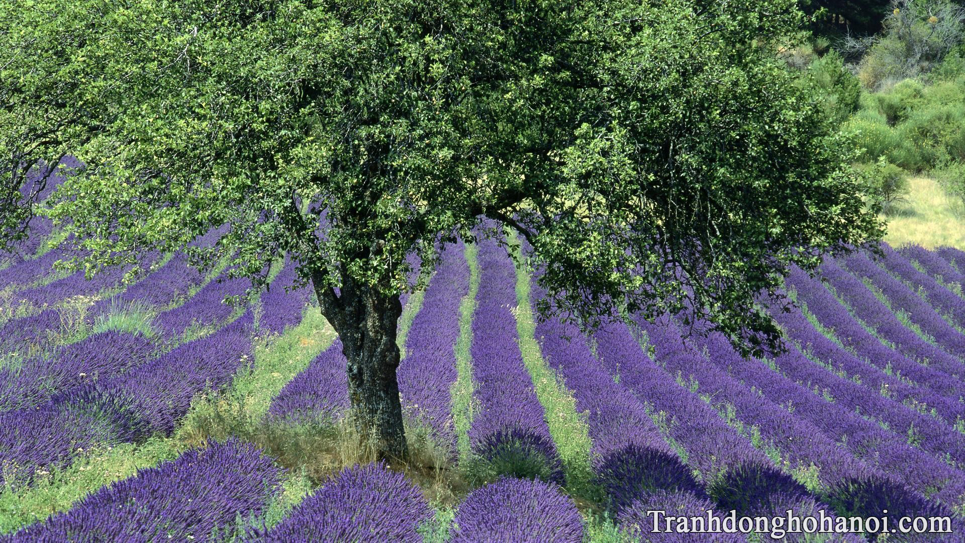 Lavender field free images AmiA