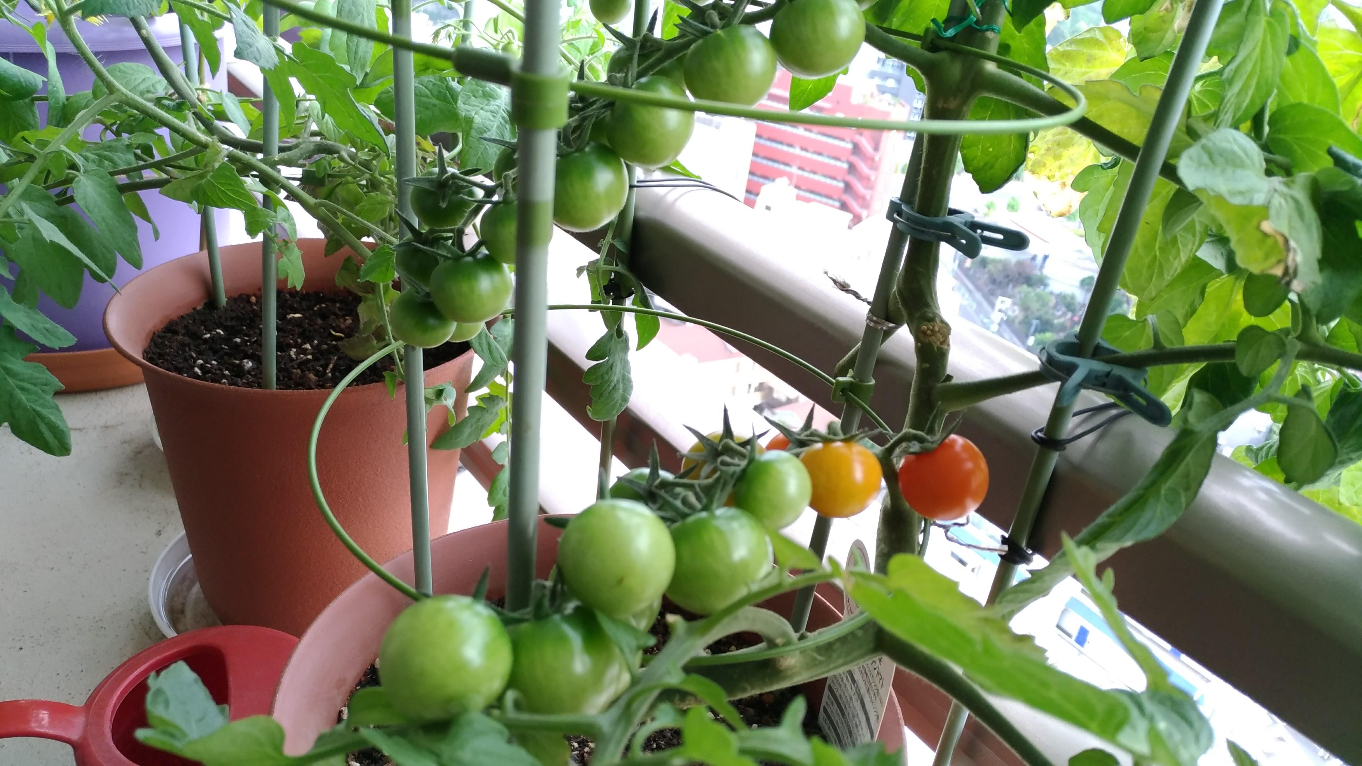 βカロテントマト
