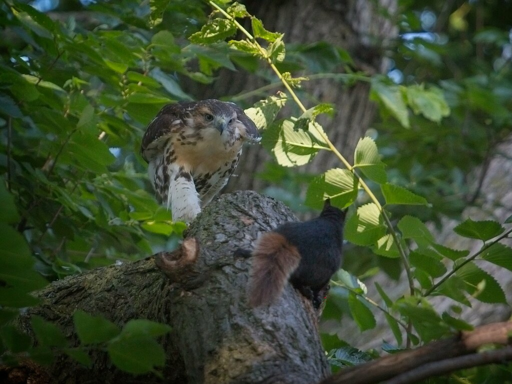 Tompkins fledgling #2 meets a squirrel