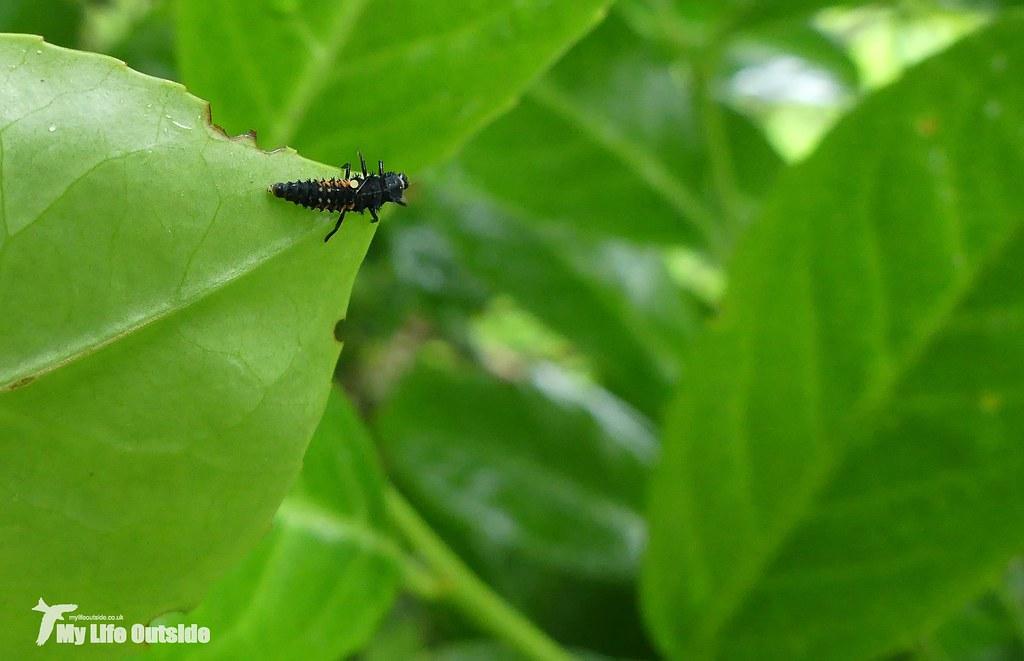 P1080635_2 - Ladybird Larvae