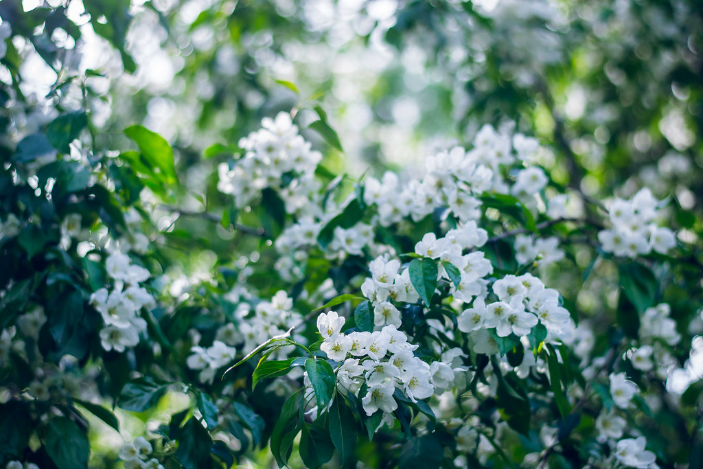 Oh These Aroma Of Apple Tree Flowers Tumblr 500px