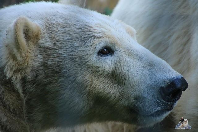 Eisbär Fiete im Sosto Zoo 27.05.2017 049