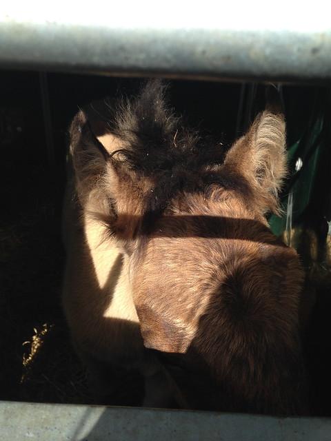 Highland pony foal