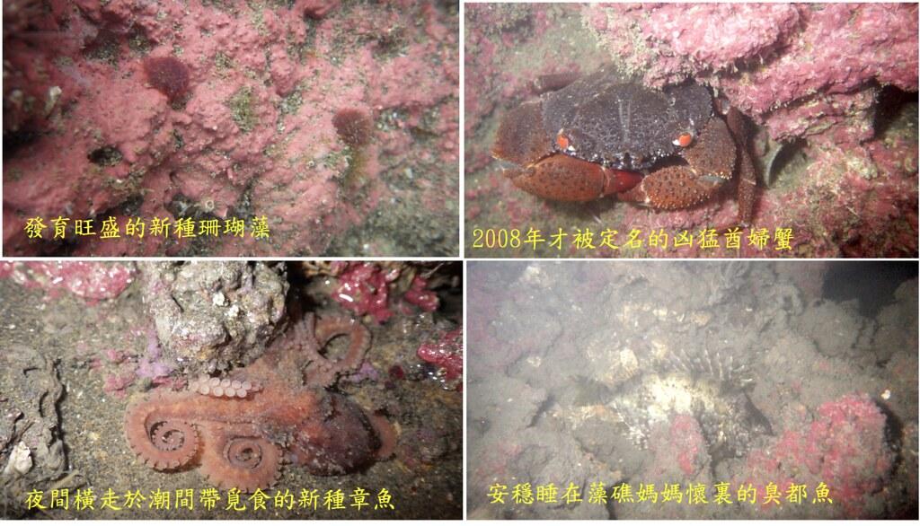 大潭藻礁豐富的生態與生物多樣性(劉靜榆 攝)