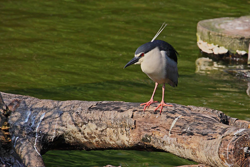 night_heron_Dominic_Yip