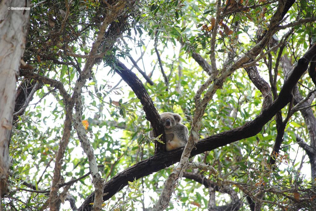 Koala, Noosan kansallispuisto, Australia