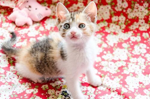 Lorna, monísima tricolor jaspeada nacida en Abril´17, en adopción. Valencia. ADOPTADA. 34289217404_436f2f6cfd