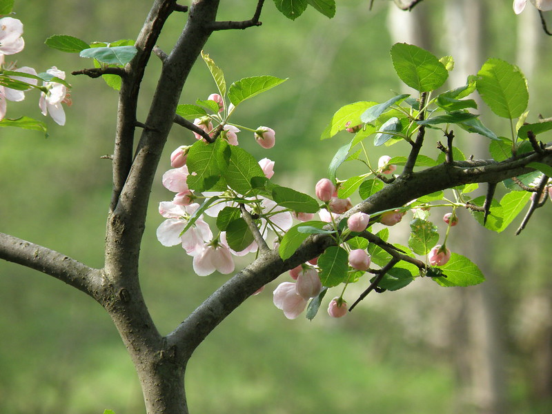 Apple Blossoms by Penny O'Connor