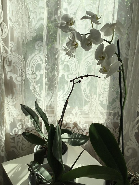 Kolme orkideaa eri vaiheistaan.