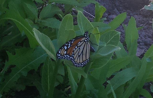 female butterfly holding onto a common milkweed in an egg-laying pose
