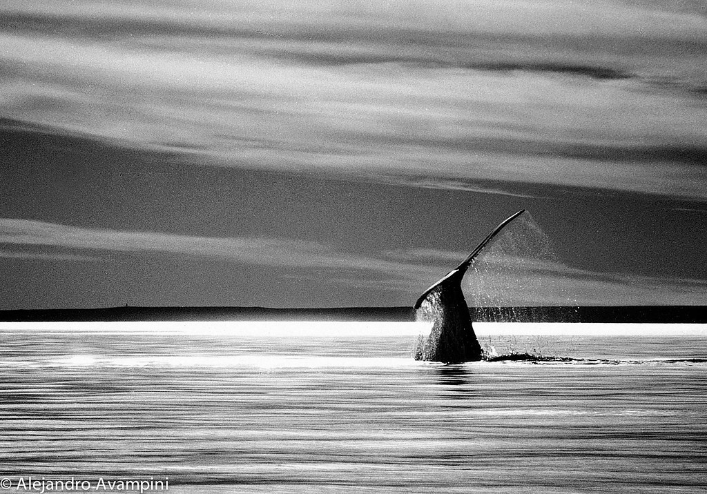 Whale Tail Black and White sunset