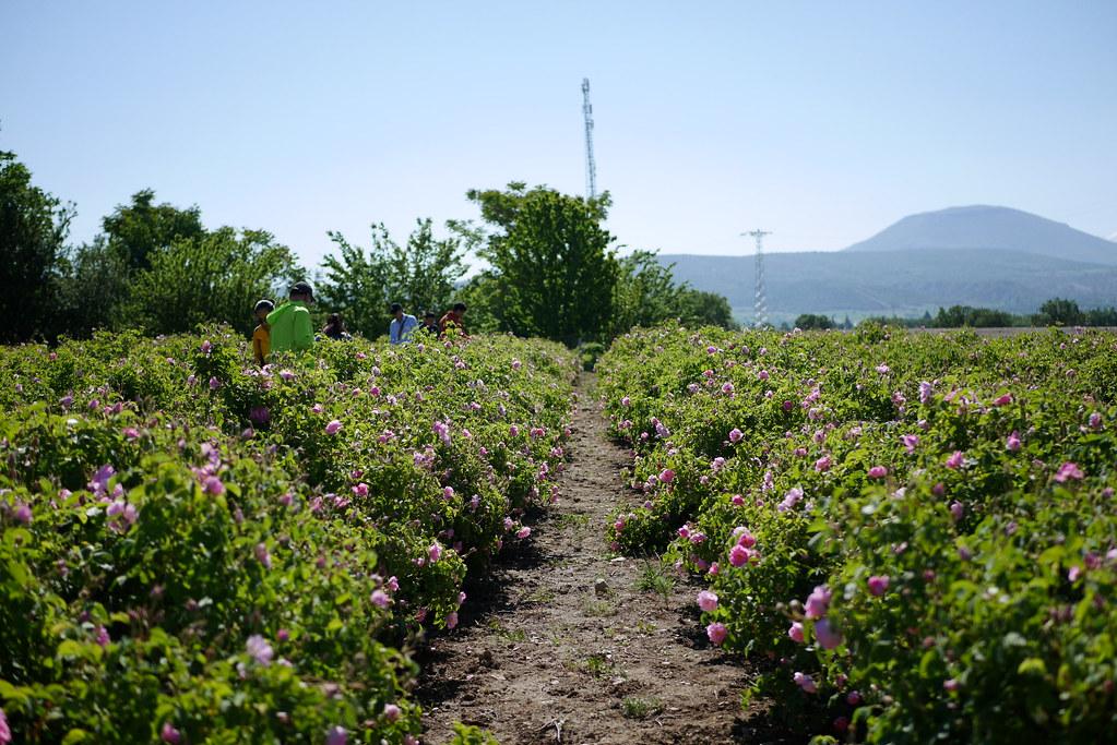 Isparta玫瑰園